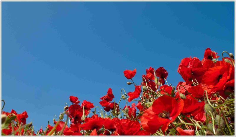 papaveri-ferrazze-10-2012-1410